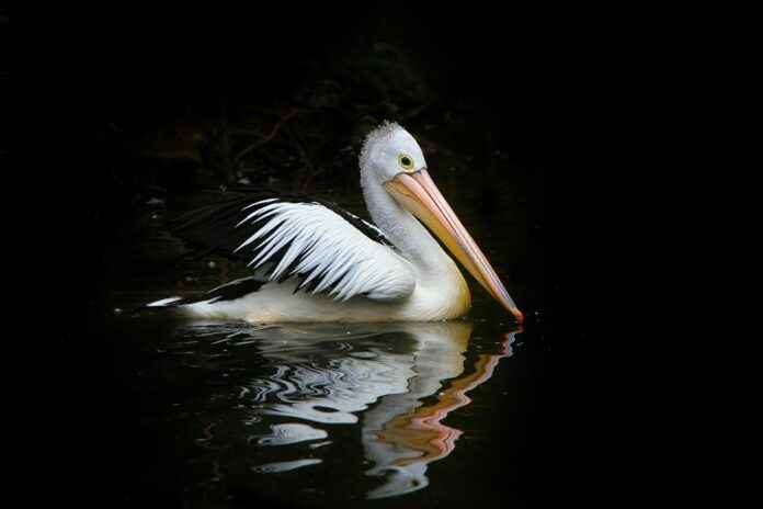 Pelikan im Wasser